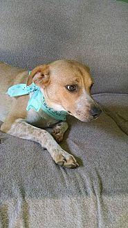 English Springer Spaniel/Beagle Mix Puppy for adoption in Nashville, Tennessee - SPENCER