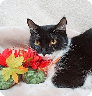 Domestic Shorthair Cat for adoption in Lebanon, Tennessee - Alene (C16-174)