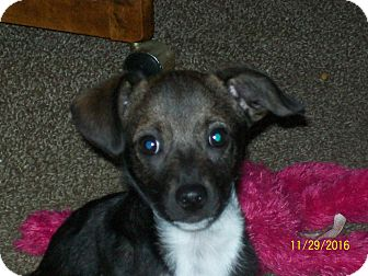 Fox Terrier (Toy)/Chihuahua Mix Puppy for adoption in EASTPOINTE, Michigan - BARKLEY