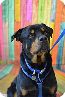 Rottweiler Dog for adoption in South Amana, Iowa - Bubba