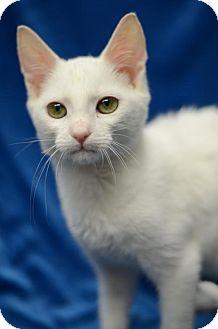 Domestic Shorthair Kitten for adoption in Atlanta, Georgia - Stay Puff161724