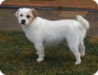 Jack Russell Terrier/Westie, West Highland White Terrier Mix Dog for adoption in Anaheim, California - Lefty
