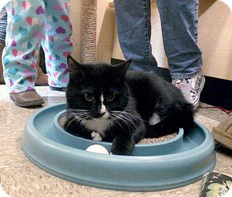 Domestic Mediumhair Kitten for adoption in Bulverde, Texas - Figaro