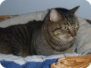Domestic Shorthair Cat for adoption in Hamburg, New York - Henry the Eighth