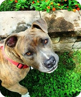 American Pit Bull Terrier Dog for adoption in Fredericksburg, Virginia - Russell- PAW Rescue