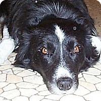 Adopt A Pet :: Shilo - Glenrock, WY