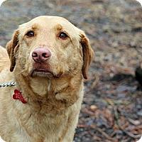 Adopt A Pet :: Scout - Tinton Falls, NJ