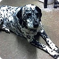 Adopt A Pet :: Pongo - Geneseo, IL