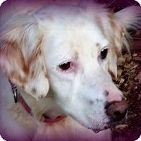 Adopt A Pet :: Bailey - Pine Grove, PA