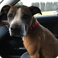 Boxer Mix Dog for adoption in Summerville, South Carolina - Sammie