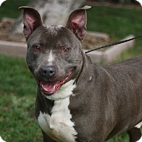 Pit Bull Terrier Mix Dog for adoption in Stockton, California - Christian