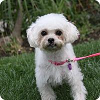 Adopt A Pet :: ESTELLE - Newport Beach, CA