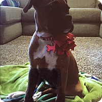 Adopt A Pet :: Angel Baby VII - Austin, TX