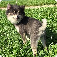 Adopt A Pet :: Cayenne - Waldorf, MD