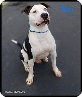 Pit Bull Terrier Mix Dog for adoption in Blacklick, Ohio - Raj