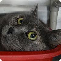 Adopt A Pet :: Munchkin - Elyria, OH
