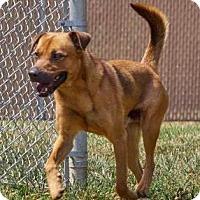 Adopt A Pet :: Macklemore - Lincolnton, NC