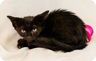 Domestic Mediumhair Cat for adoption in Oakland Park, Florida - Chance