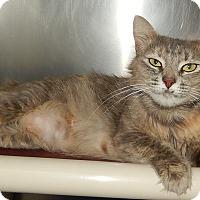 Domestic Mediumhair Cat for adoption in Newport, North Carolina - Renata (New Bern Petsmart)