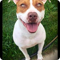 American Staffordshire Terrier/American Bulldog Mix Dog for adoption in Hartford City, Indiana - Valery