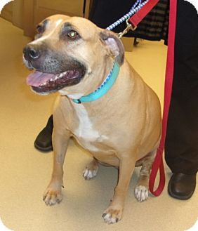 American Pit Bull Terrier Mix Dog for adoption in tucson, Arizona - Sage