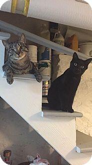 Domestic Shorthair Cat for adoption in Harrison, New York - Salem & Lotus
