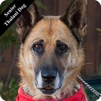 German Shepherd Dog Mix Dog for adoption in Cupertino, California - Sierra T.