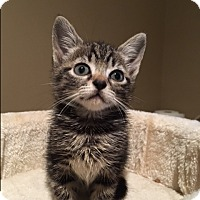 Adopt A Pet :: Capricia - Wayne, NJ