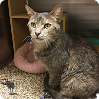 Domestic Shorthair Cat for adoption in Colmar, Pennsylvania - Glenda