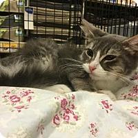 Domestic Mediumhair Kitten for adoption in Royal Palm Beach, Florida - Puss n Boots