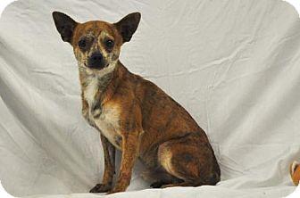 Chihuahua Dog for adoption in Eldora, Iowa - Travis