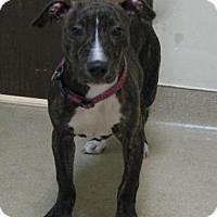 Adopt A Pet :: Sweet Pea - Gary, IN