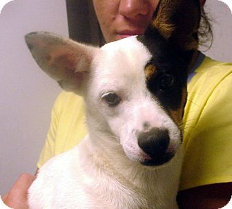 Jack Russell Terrier/Pug Mix Dog for adoption in baltimore, Maryland - Corky