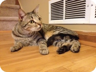 Domestic Shorthair Cat for adoption in Winder, Georgia - *Tugg