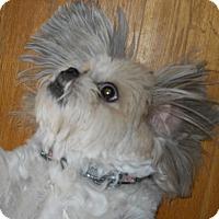 Adopt A Pet :: Odie - dewey, AZ