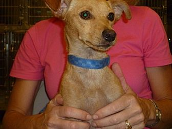 Terrier (Unknown Type, Medium)/Chihuahua Mix Dog for adoption in Fresno, California - Buster