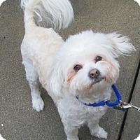 Adopt A Pet :: Trent - Lomita, CA