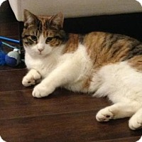 Domestic Shorthair Cat for adoption in Montreal, Quebec - Olive