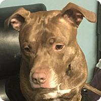 Adopt A Pet :: Diesel - Medford, MA