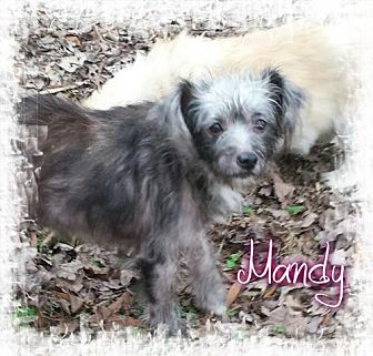 Terrier (Unknown Type, Medium) Mix Dog for adoption in Crandall, Georgia - Mandy