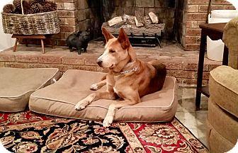 Husky/Labrador Retriever Mix Dog for adoption in Sagaponack, New York - Mr Big