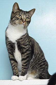 Domestic Shorthair Cat for adoption in Atlanta, Georgia - Zane 131072