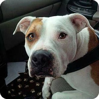 American Staffordshire Terrier Dog for adoption in New Richmond,, Wisconsin - Allie