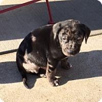 Adopt A Pet :: Gonzaga - PENDING - Grafton, WI