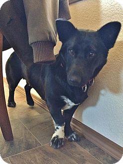 Corgi Mix Dog for adoption in Wasilla, Alaska - Molly