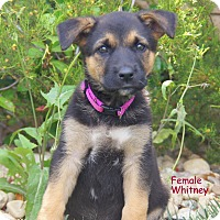 Adopt A Pet :: Whitney von Rosie - Thousand Oaks, CA