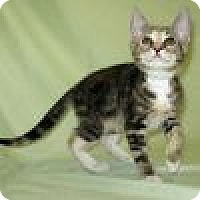 Adopt A Pet :: Sumosa - Powell, OH