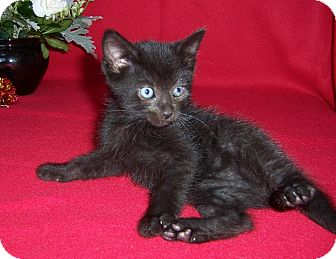 Bombay Kitten for adoption in Taylor Mill, Kentucky - Edgar-Born August 2016