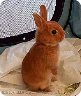 Netherland Dwarf for adoption in Livermore, California - Praline