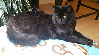 Domestic Mediumhair Cat for adoption in Estero, Florida - Kodiak
